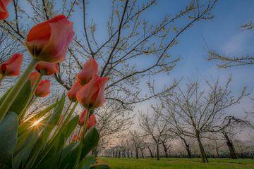Tulpen in fruitboomgaard 01 van Moetwil en van Dijk - Fotografie