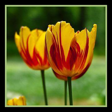 Tulips yellow red van Ralf Schroeer