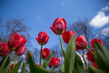 Tulpen vanaf onder van Chris Snoek