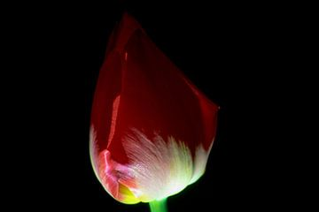 Tulpe I von Onno van Kuik