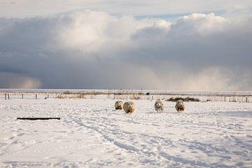 Ameland in de sneeuw - schapen van Nicole Nagtegaal