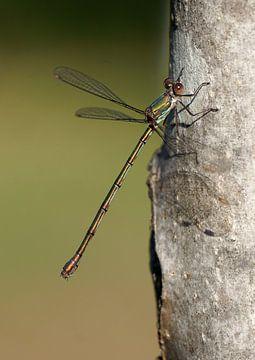Libelle von Ineke Klaassen