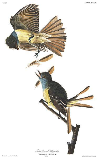 Grote Kuiftiran van Birds of America