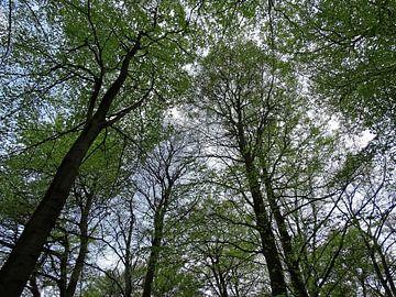 Van onder naar boven naar de toppen van de bomen van