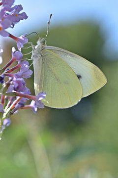 Kohlweiß auf einer violetten Blüte von Daphne van der straaten