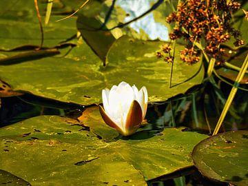 Seerose/Heiliger Lotus von Eduard Lamping