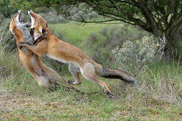 vechtende vossen duinen bij vogelenzang van Linda Manzaneque
