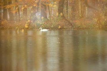 Le cygne aux couleurs de l'automne sur gj heinhuis