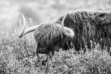 Schotse hooglander van Melissa Peltenburg