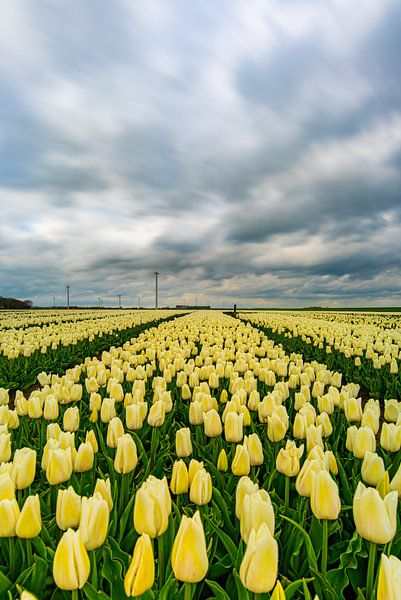 tempête de tulipes sur Robin van Maanen