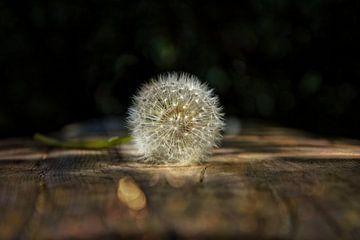 Pusteblume  auf Holz von Claudia Evans