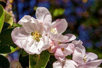 Concept flora : Apple blossoms van
