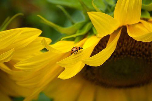 Zonnebloem met lieveheersbeestje