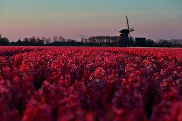Roze hyacinten van Peter Heins