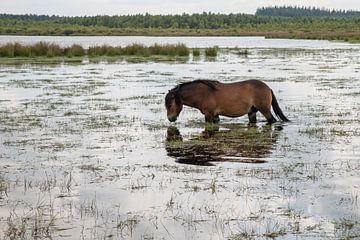 ein braunes Wildpferd in den Fochteloerveen