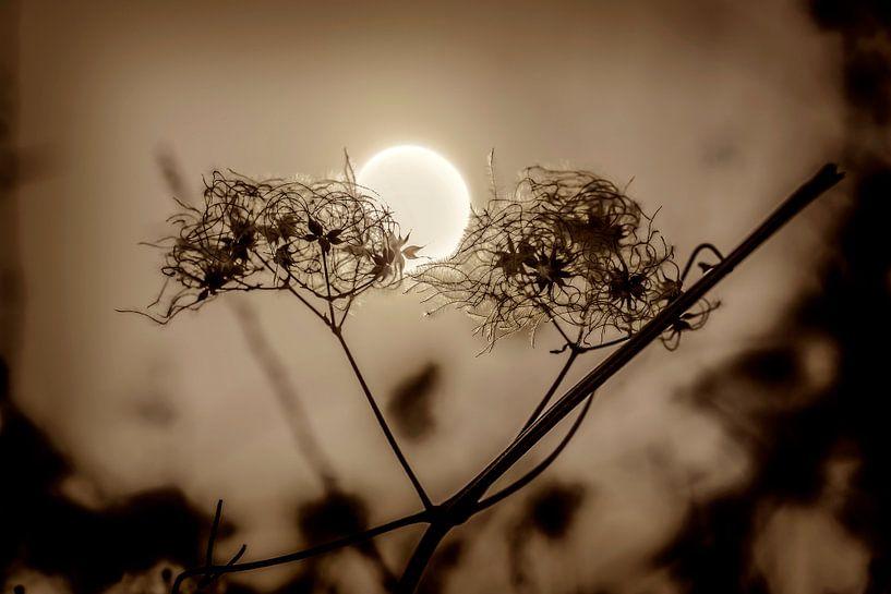 Wilde clematis van Fotografie Arthur van Leeuwen