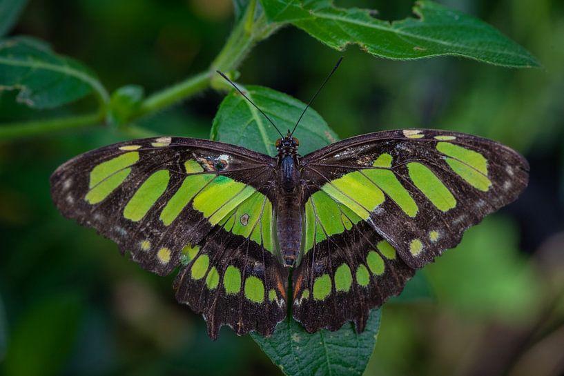 Close up vlinder op een blad van Ron Jobing