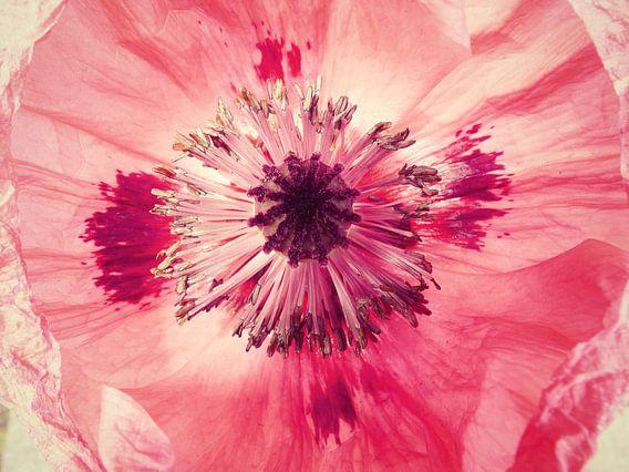 pink papaver van Els Fonteine