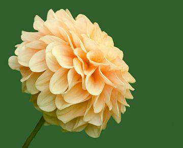 Dahlia en fleurs sur Petra Vastenburg