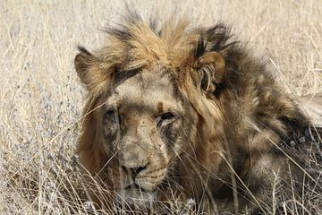 Afrikaanse Leeuw van Geert Neukermans