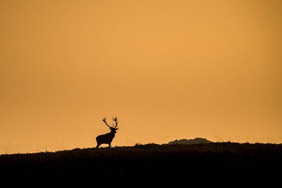 Edelhert in laatste zonlicht