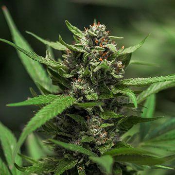 Cannabis Blad Bloesem Cannabis Bloesem van