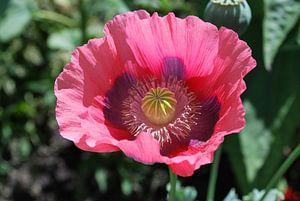 A single poppy in full bloom.
