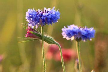 Korenbloem Blauw Friesland van Fotografie Sybrandy