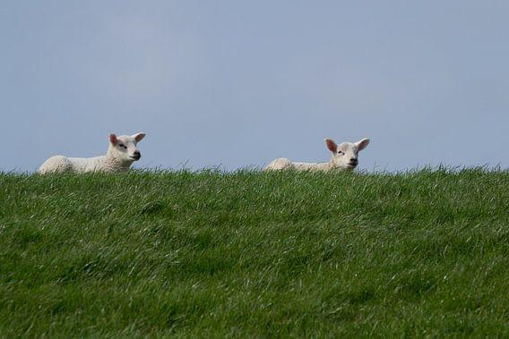 Lammetjes op de dijk bij Wierum, Lente in Friesland