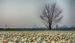 Eenzame boom aan Narcissenveld