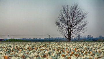 Eenzame boom aan Narcissenveld van Charelle Roeda