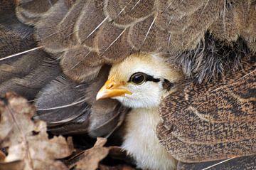 Kuiken onder moeders vleugels van CreaBrig Fotografie