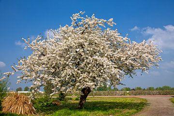 Arbre à fleurs au printemps sur Bram van Broekhoven