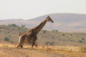 Giraffe Südafrika von Ralph van Leuveren