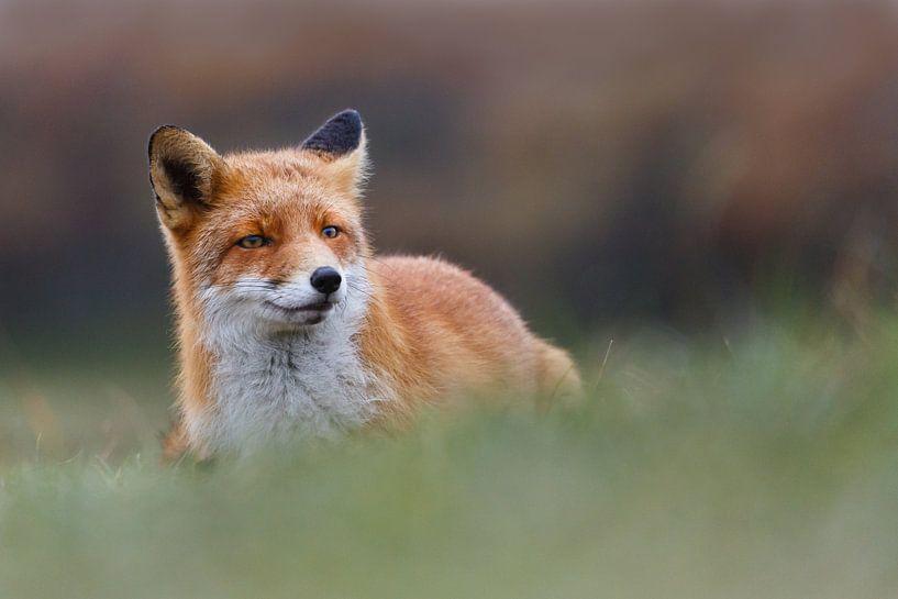 Prachtige vos van Pim Leijen