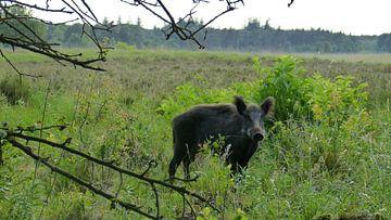 Herten, Zwijnen, natuur, wild zwijn, Veluwe van Gijs van Veldhuizen