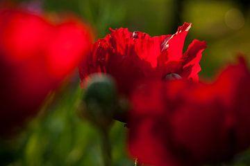Rode papavers in juni sur Margo Schoote