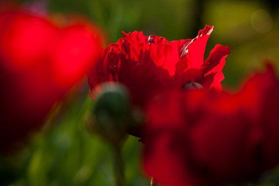 Rode papavers in juni van Margo Schoote