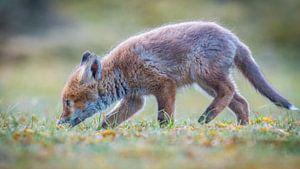 Een nieuwsgierig vosje