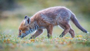 Un petit renard curieux sur Dennis Janssen