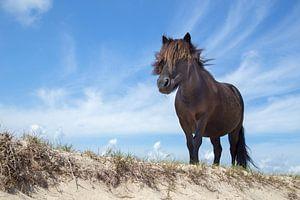 Zwarte pony op strand met blauwe lucht