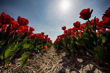 Bollenveld - Rode tulpen van Manuel Speksnijder