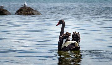Zwarte zwaan spreidt vleugels, Nieuw Zeeland van Rietje Bulthuis