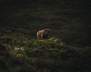 Der schottische Hochlandbewohner von Sander Spreeuwenberg