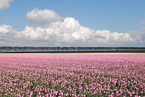Roze tulpenveld van