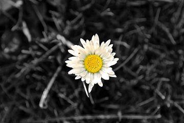 De beroemde bloem Magriet (Zwart Wit) van Maurits Simons