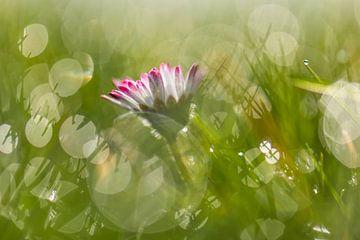 Gänseblümchen auf einer Bokeh-Wiese von Tania Perneel