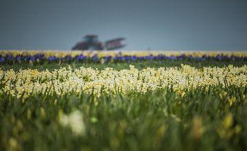 Bollenboer in hyacinten veld. van Peter Heins