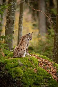 Mother Lynx van
