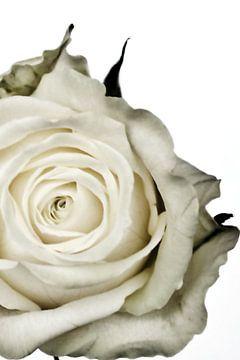 Foto van een witte roos. van Therese Brals